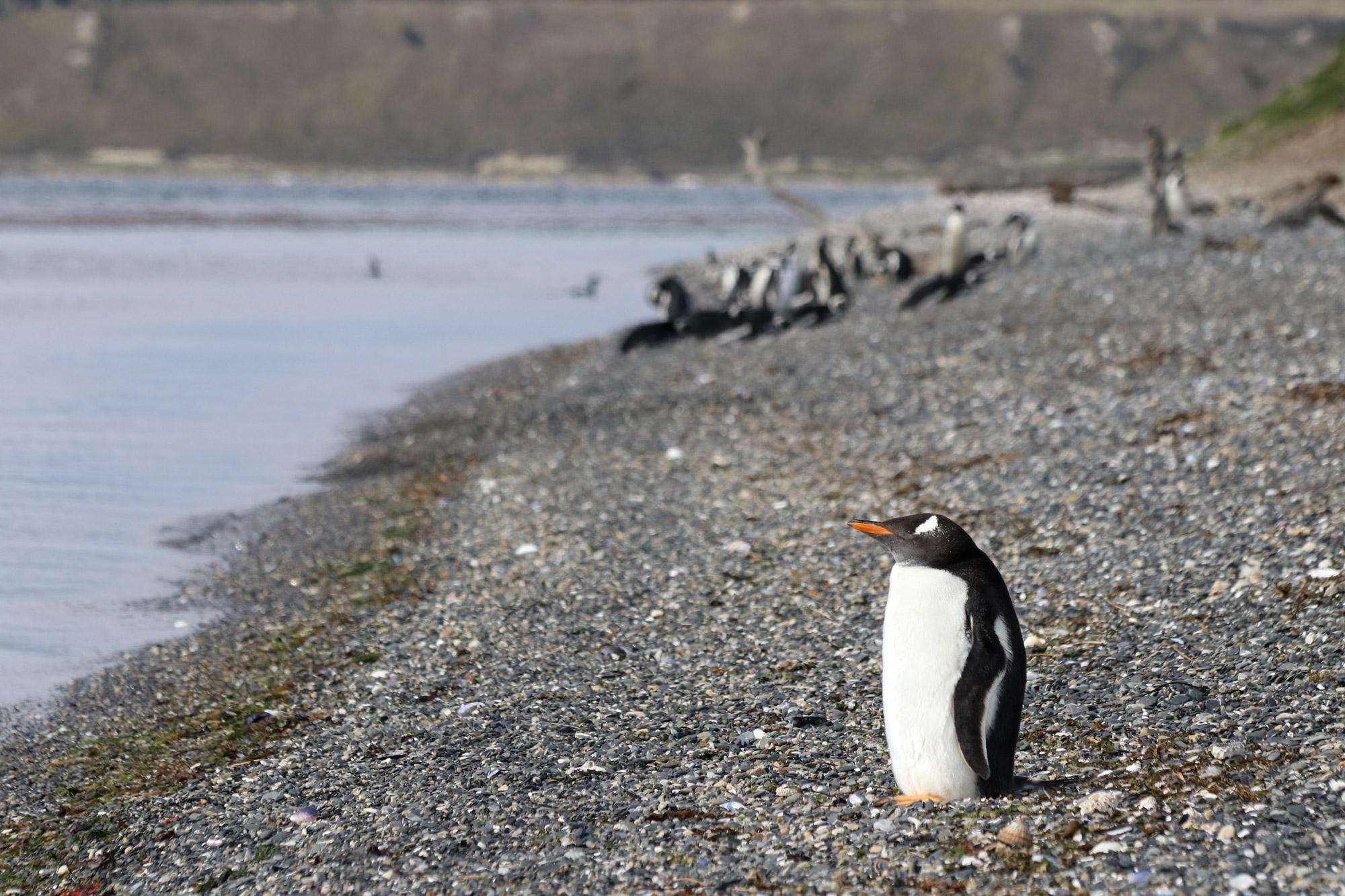 Patagonië - Isla Martillo