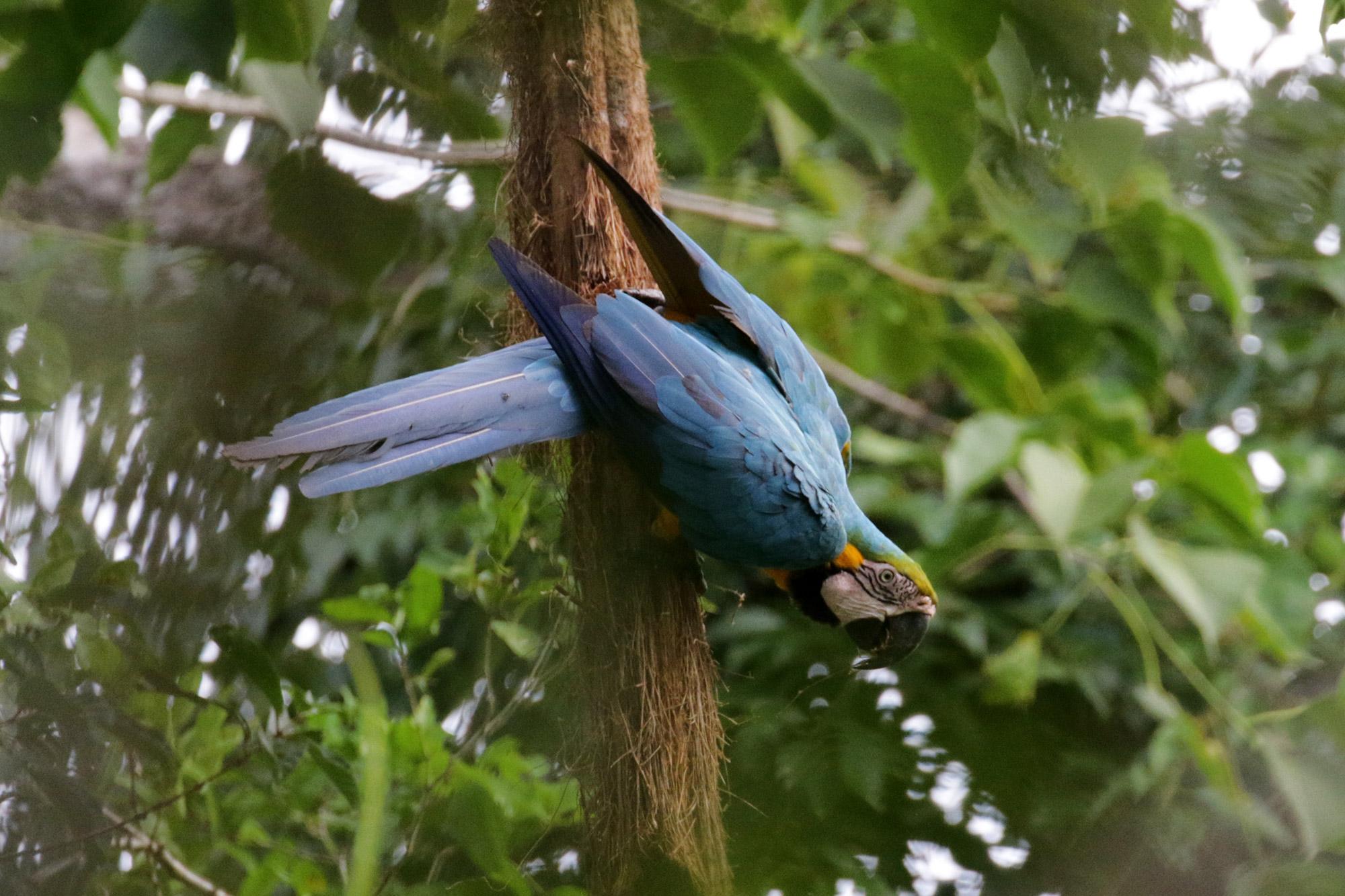 Blue Monday - Ara in Bolivia