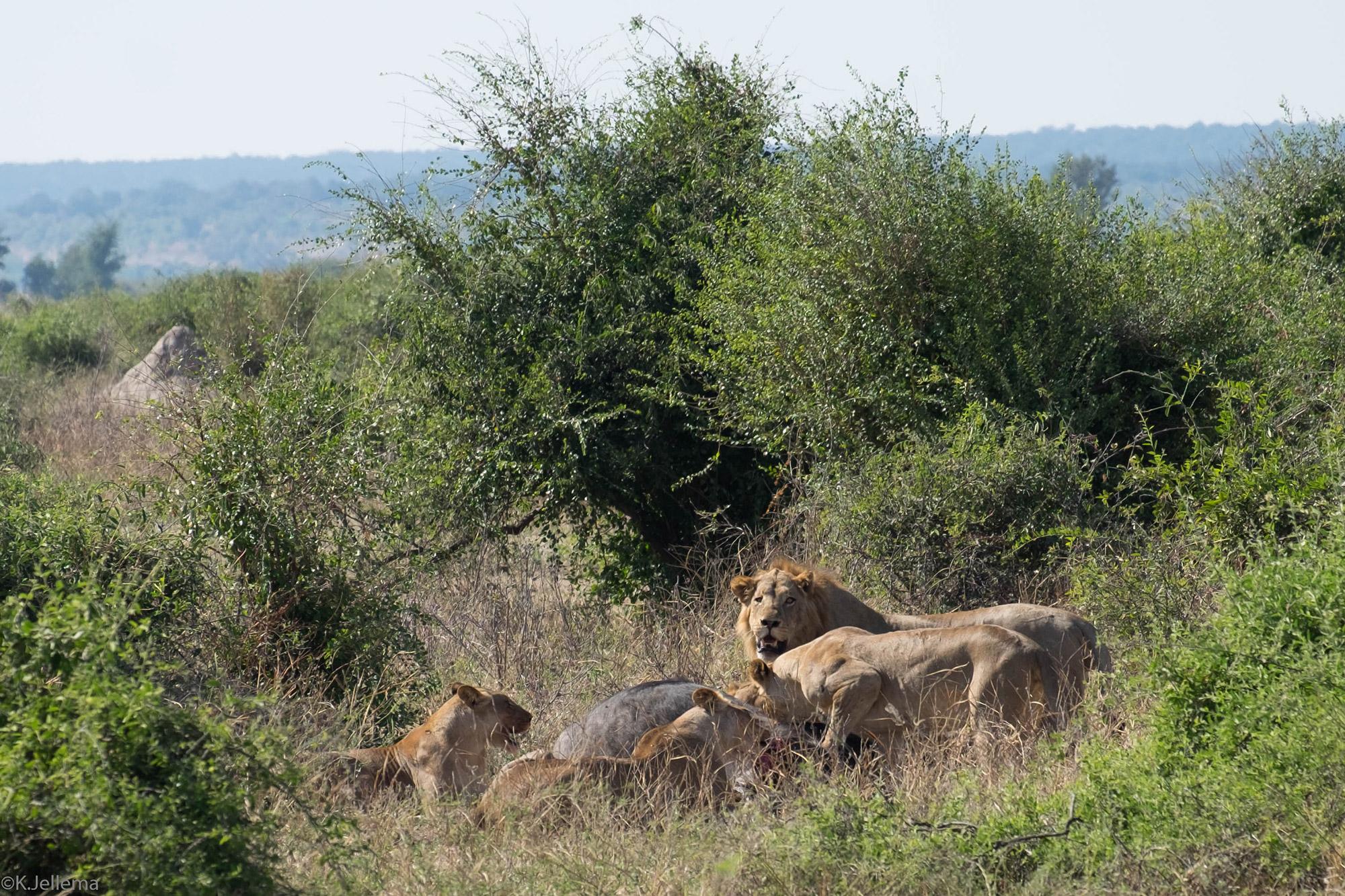 Katinka - De buffelkill