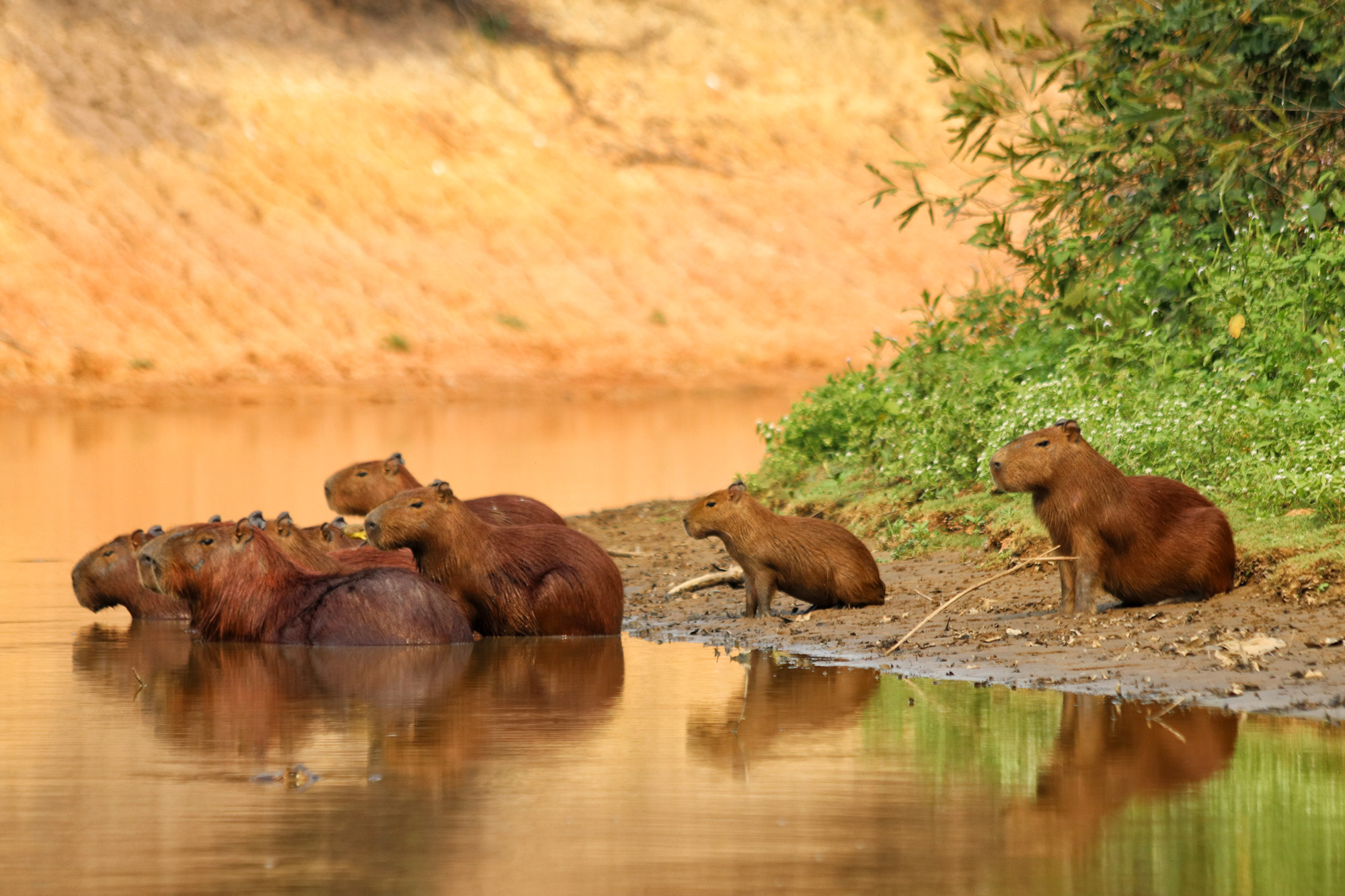 Bolivia in 20 beelden - Capibara's in de Pampas