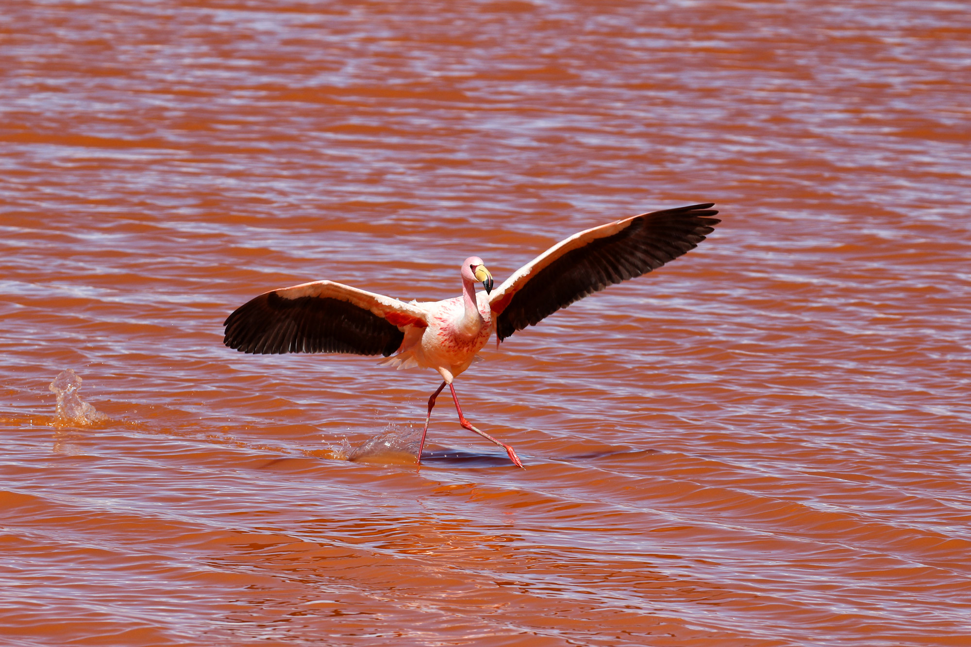 Bolivia in 20 beelden - Flamingo