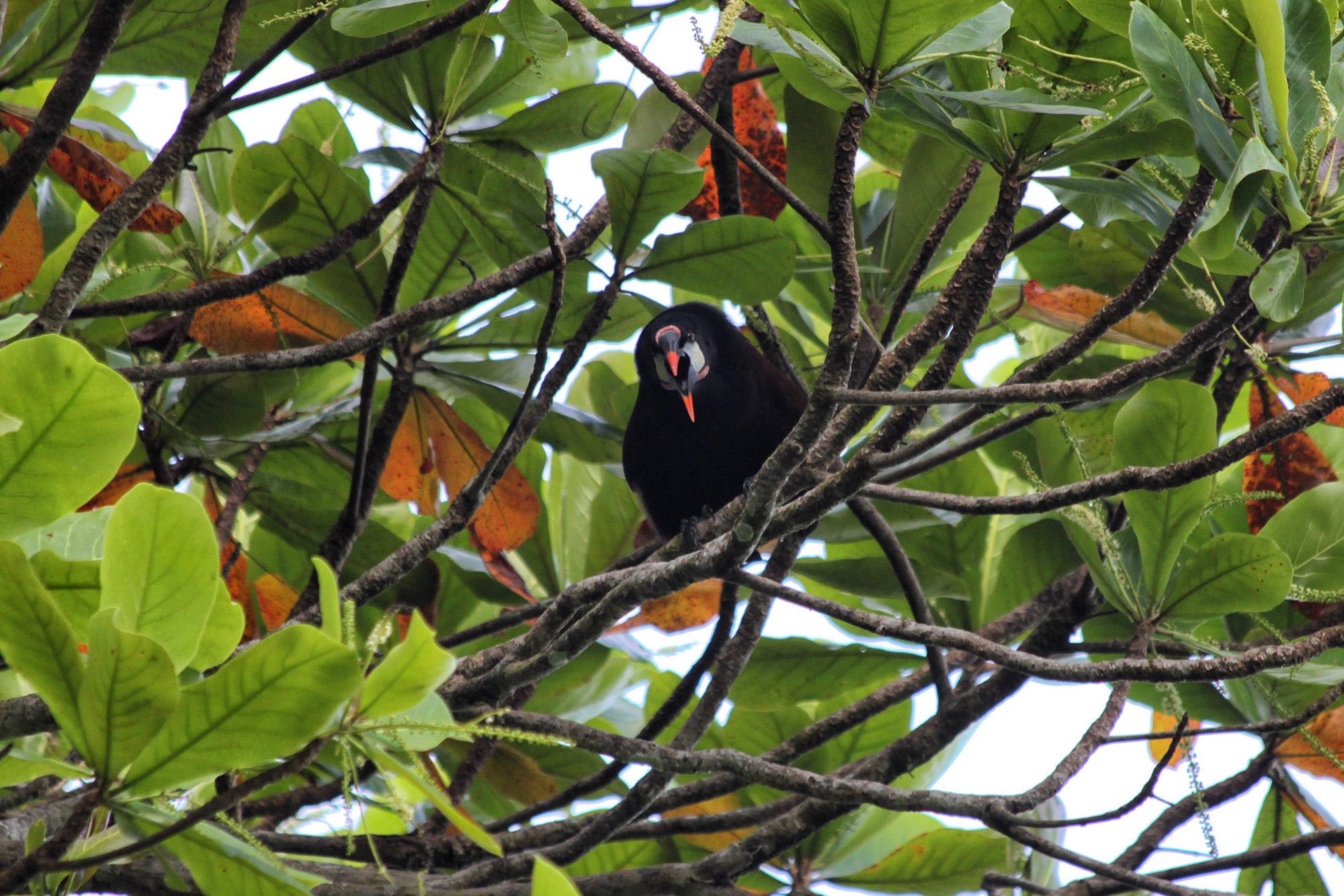 Gespotte dieren: Montezuma Oropendola