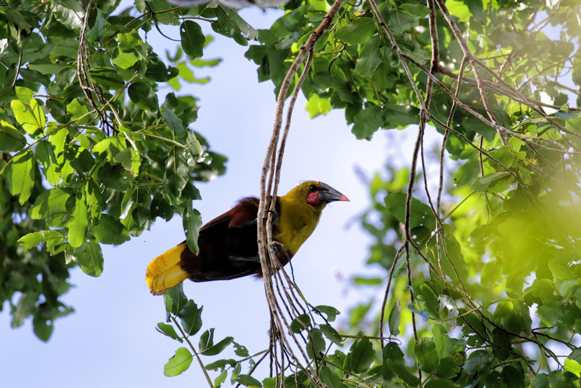 Gespotte dieren: Amazonian Oropendola
