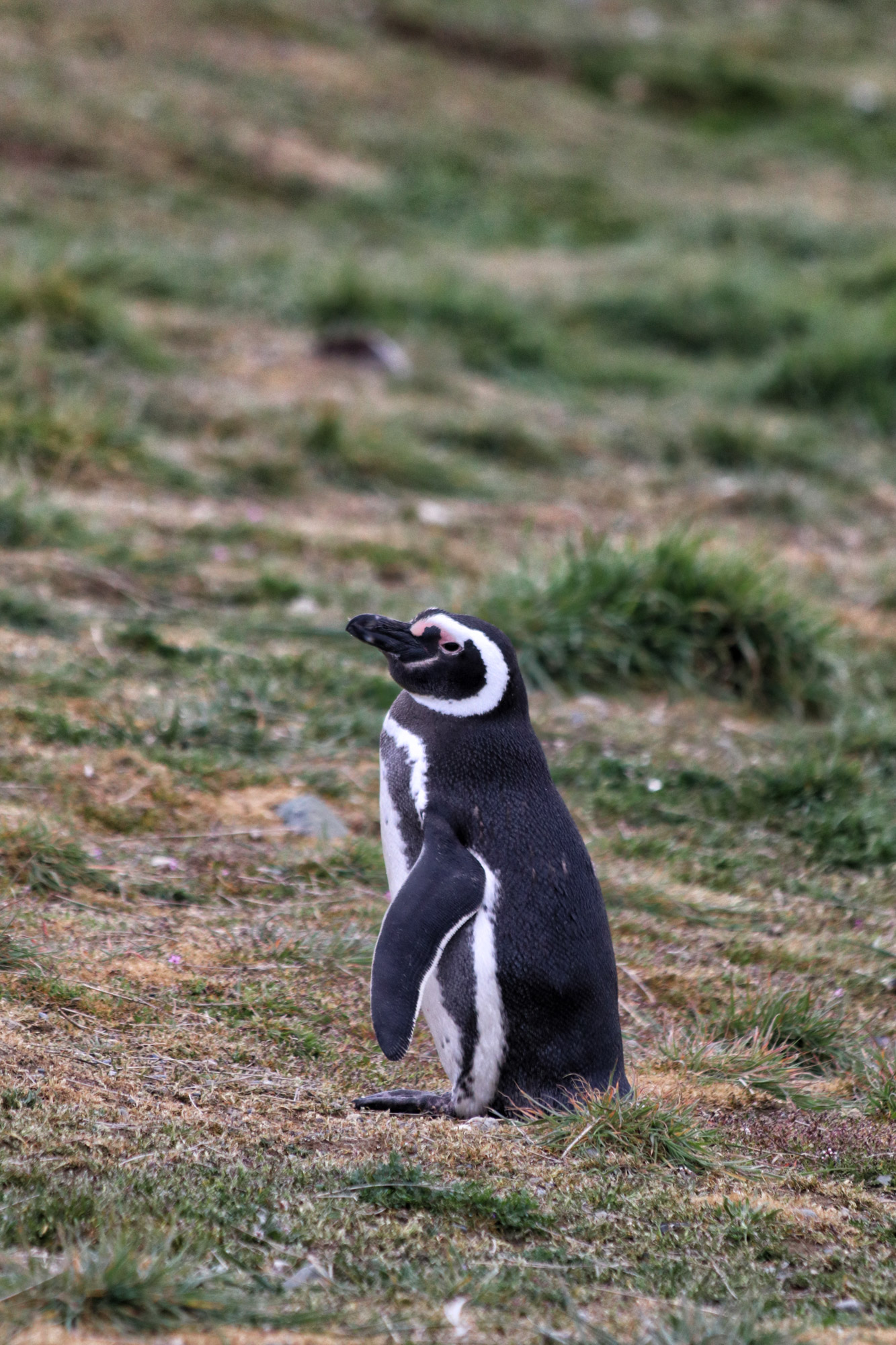 Magelhaenpinguïns spotten op Isla Magdalena - Patagonië