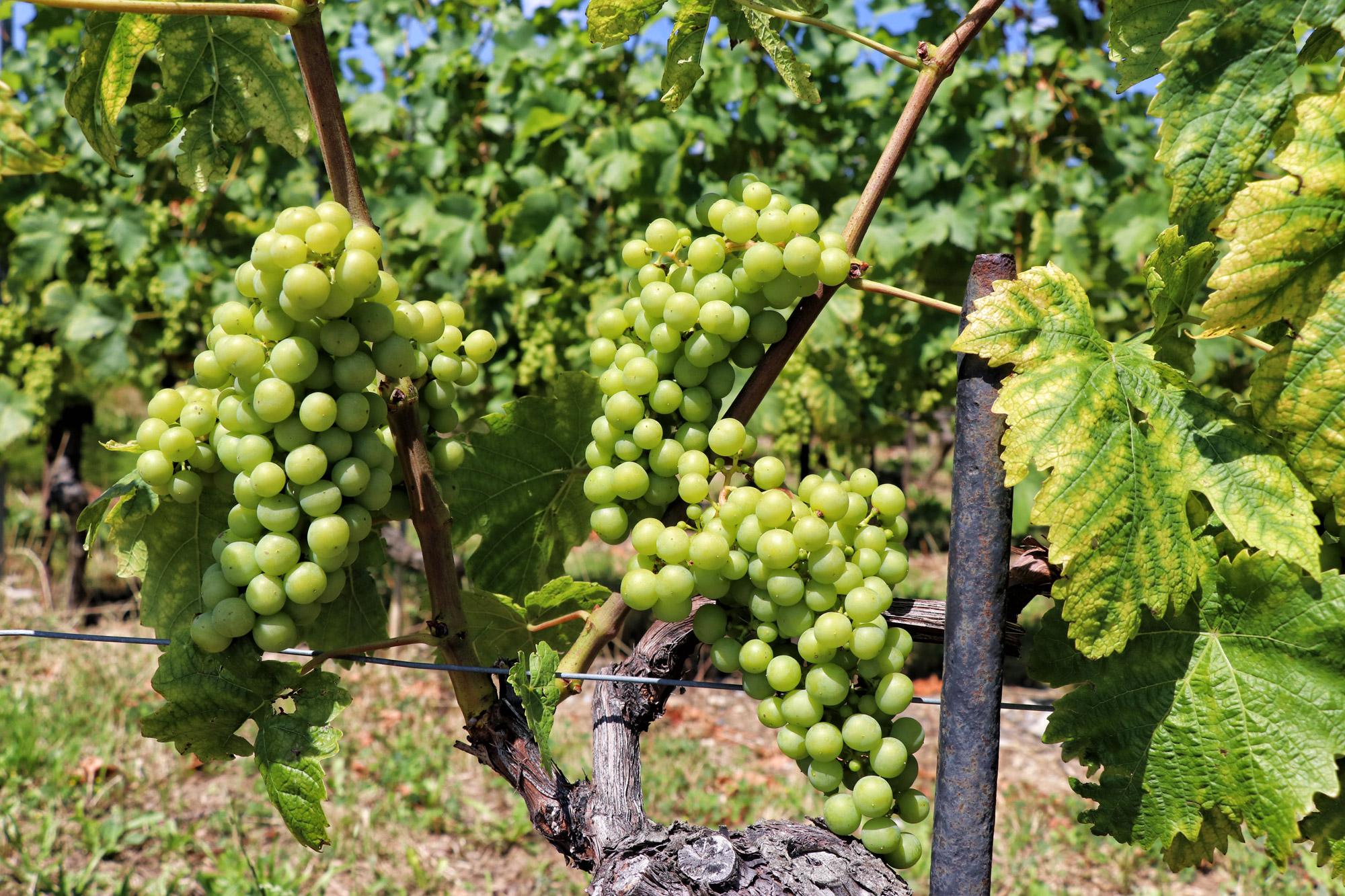 Wijngaarden van Lavaux - Zwitserland