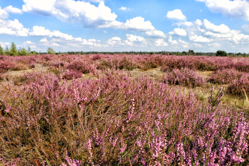 Foto van de maand: September 2020 - Strabrechtse Heide in bloei