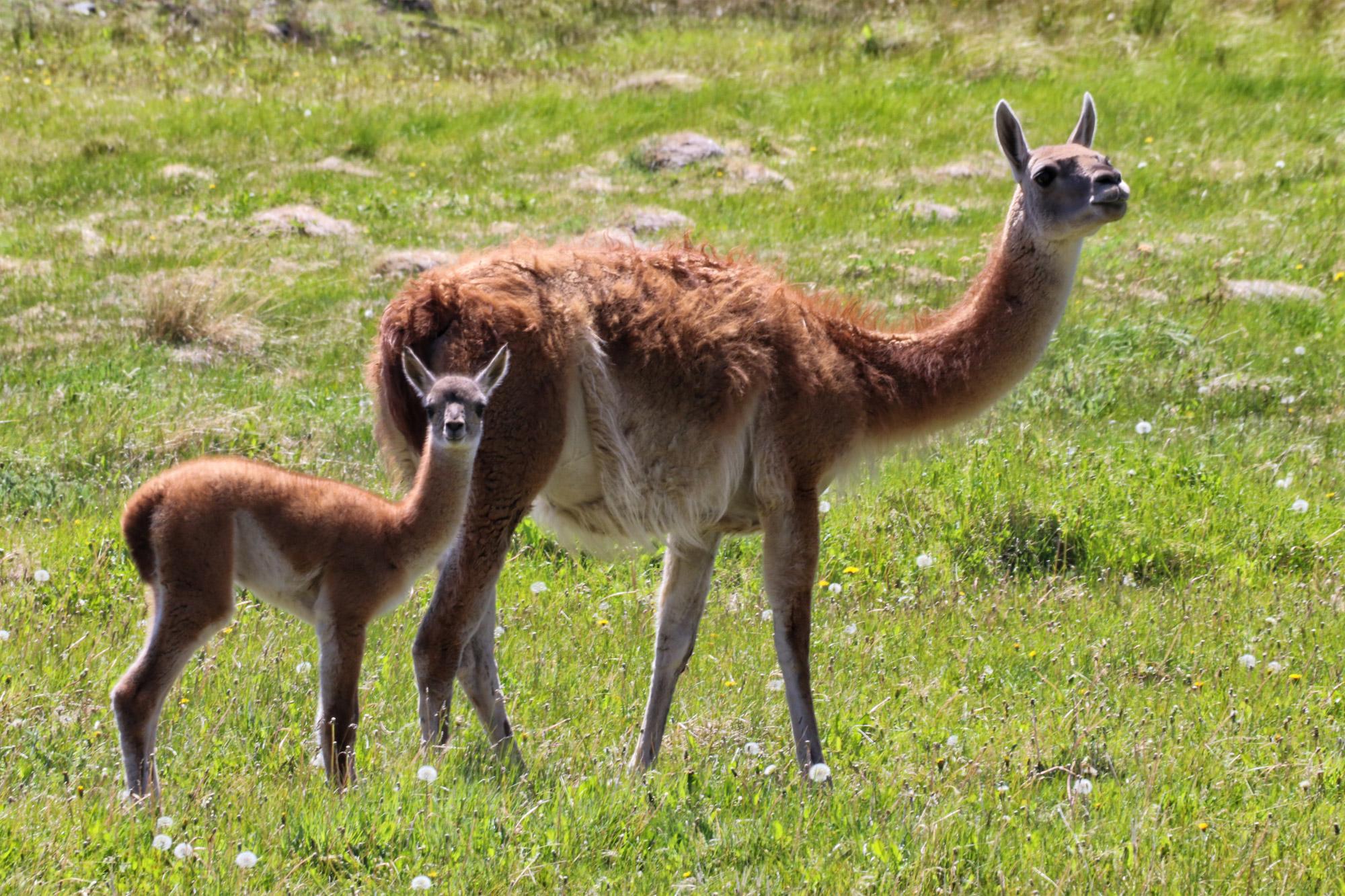 Gespotte dieren: Guanaco