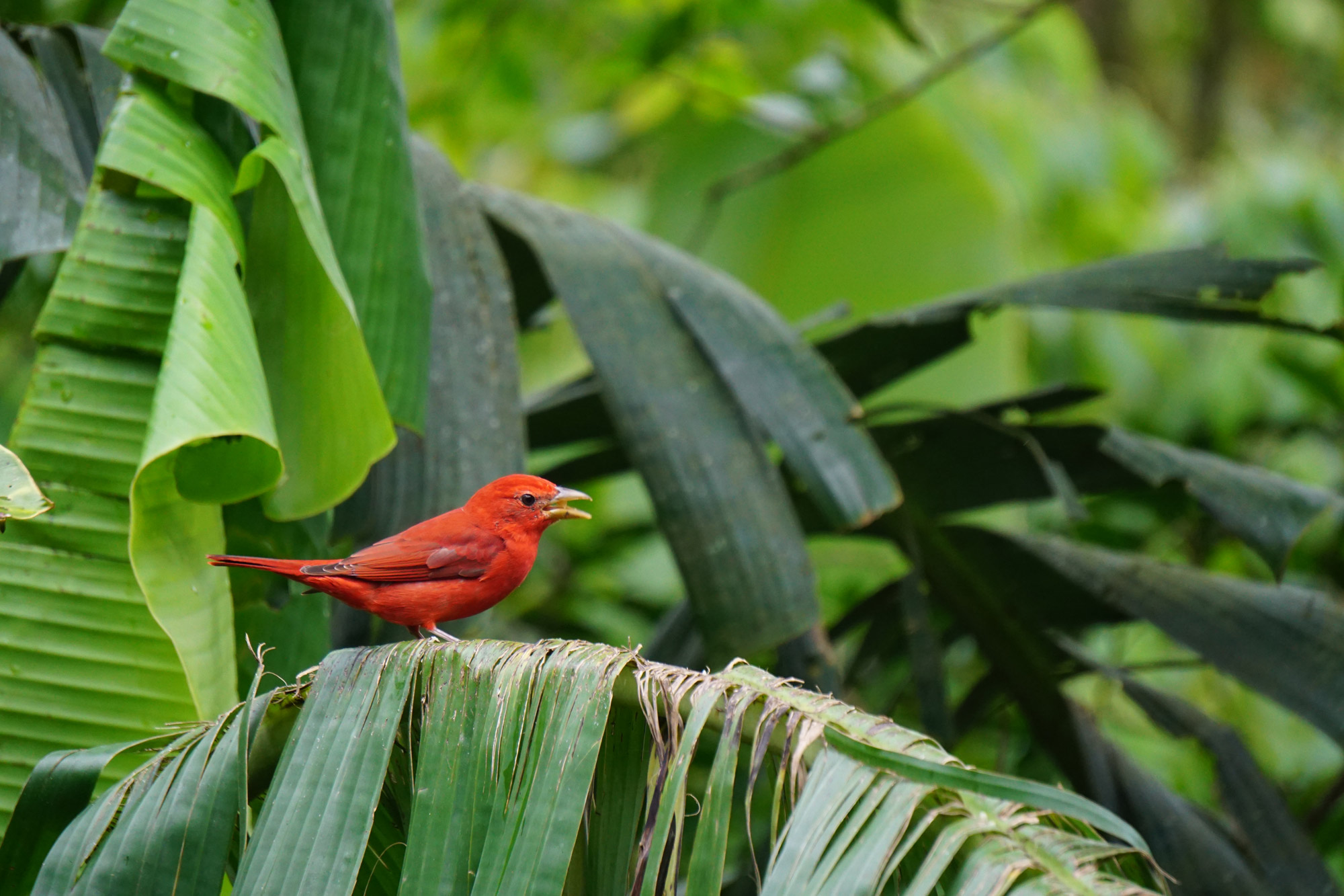 Anouk - Summer Tanager in Costa Rica