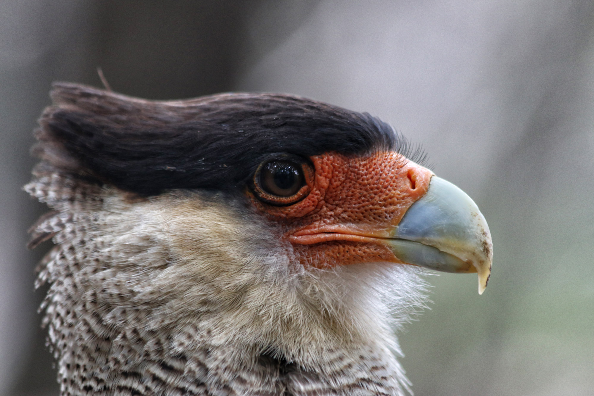 Wildlife in Patagonië - Caracara