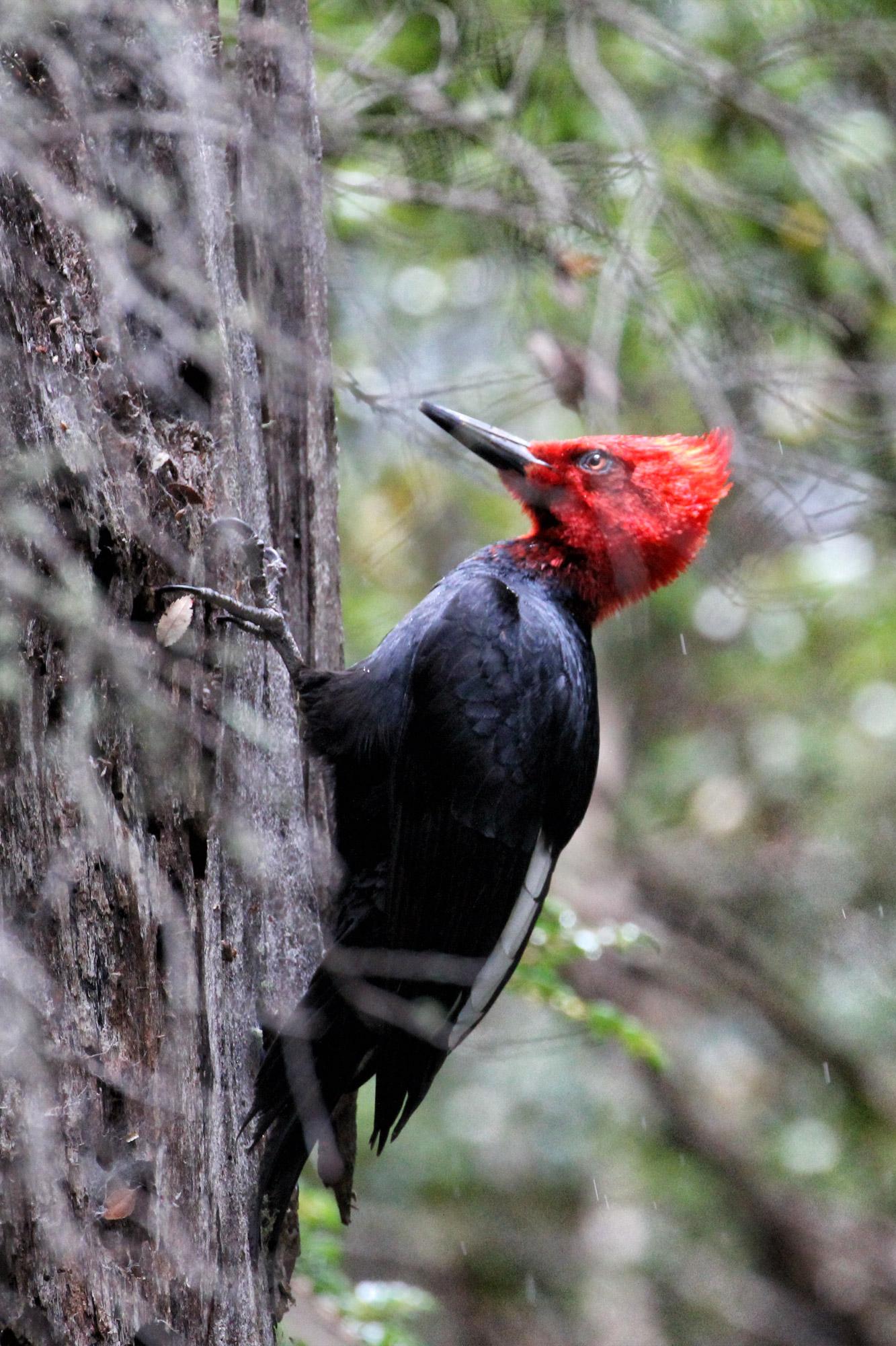 Wildlife in Patagonië - Magelhaenspecht