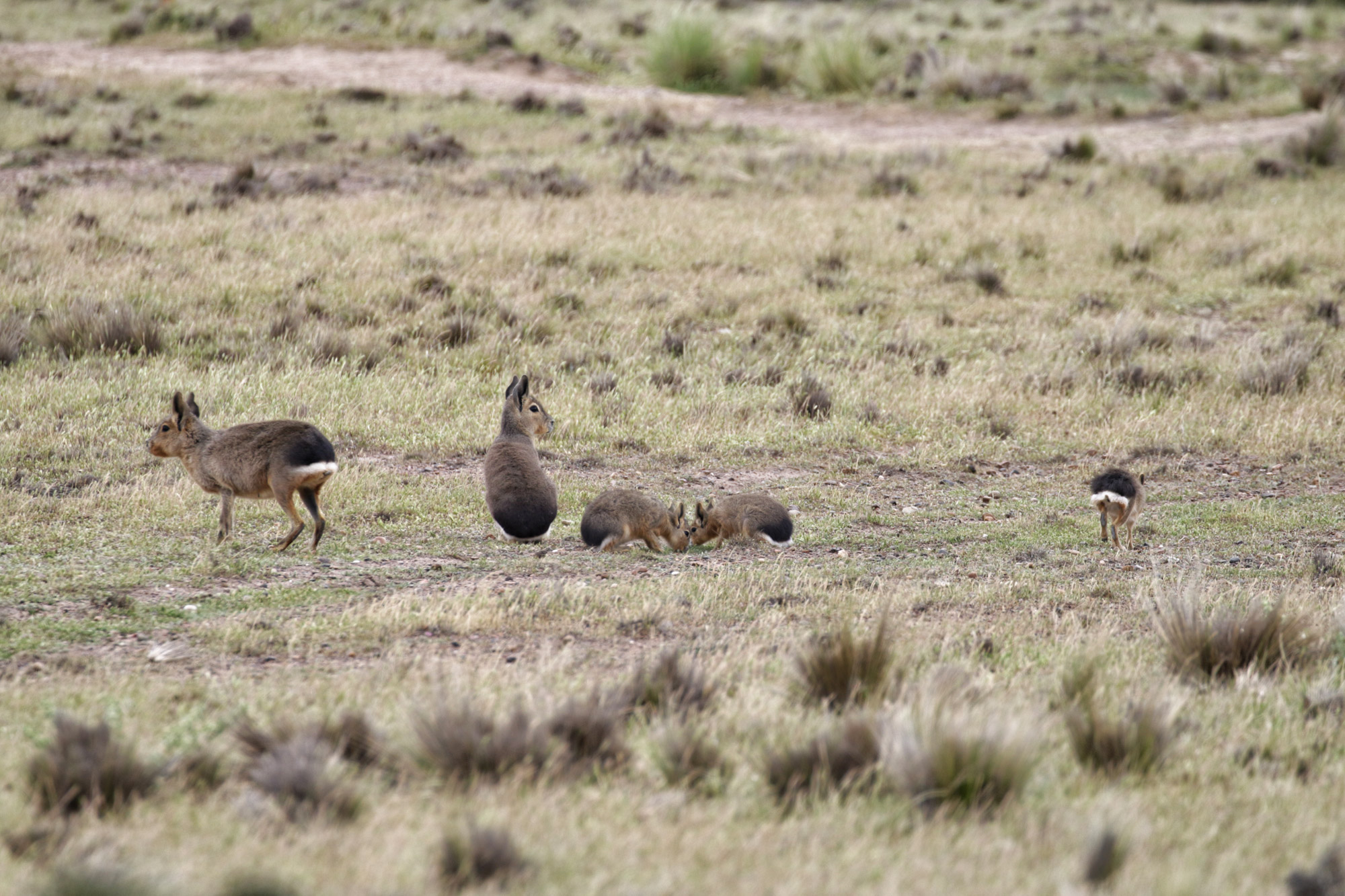 Wildlife in Patagonië - Mara