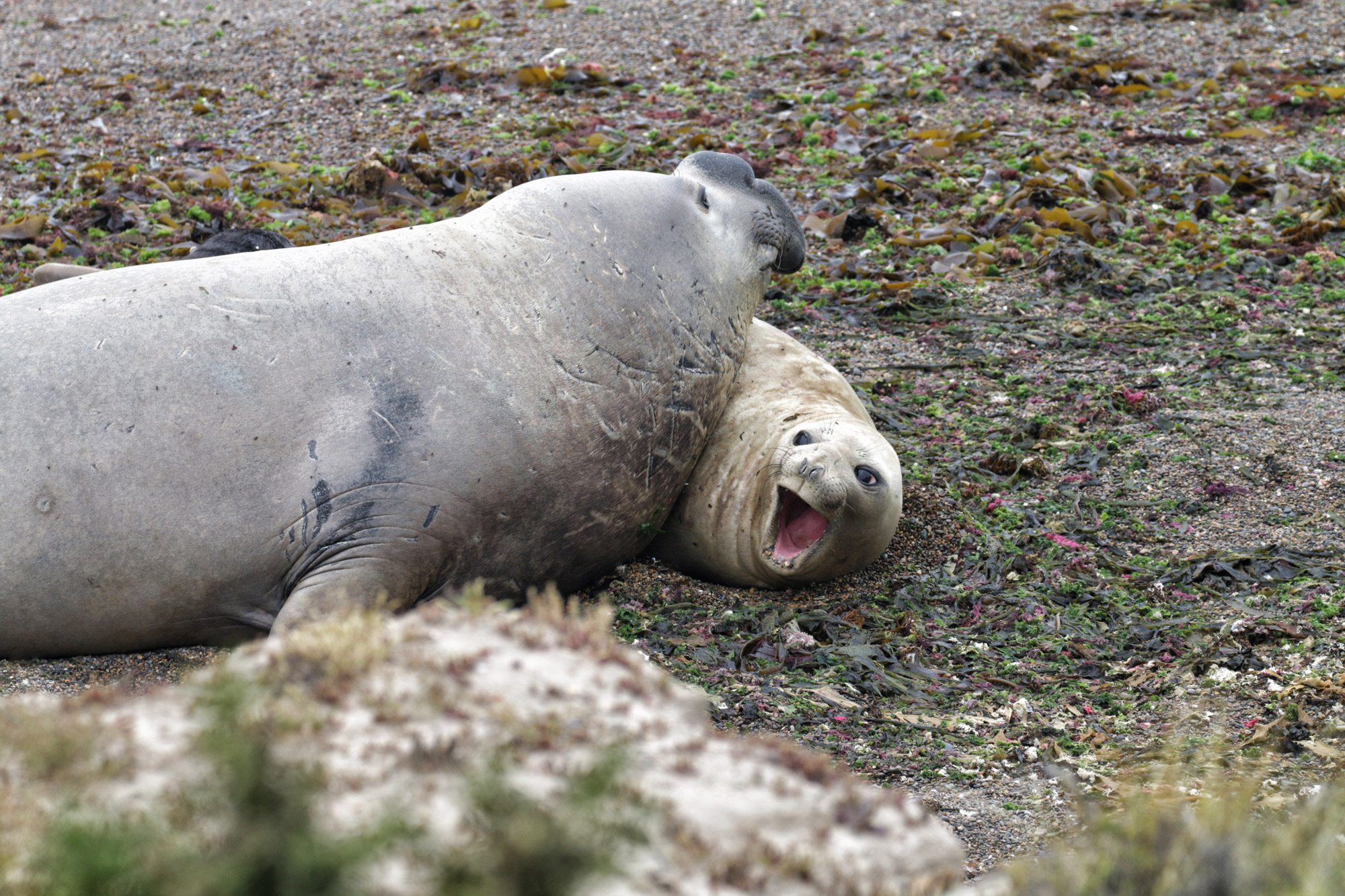 Wildlife in Patagonië - Zuidelijke zeeolifant