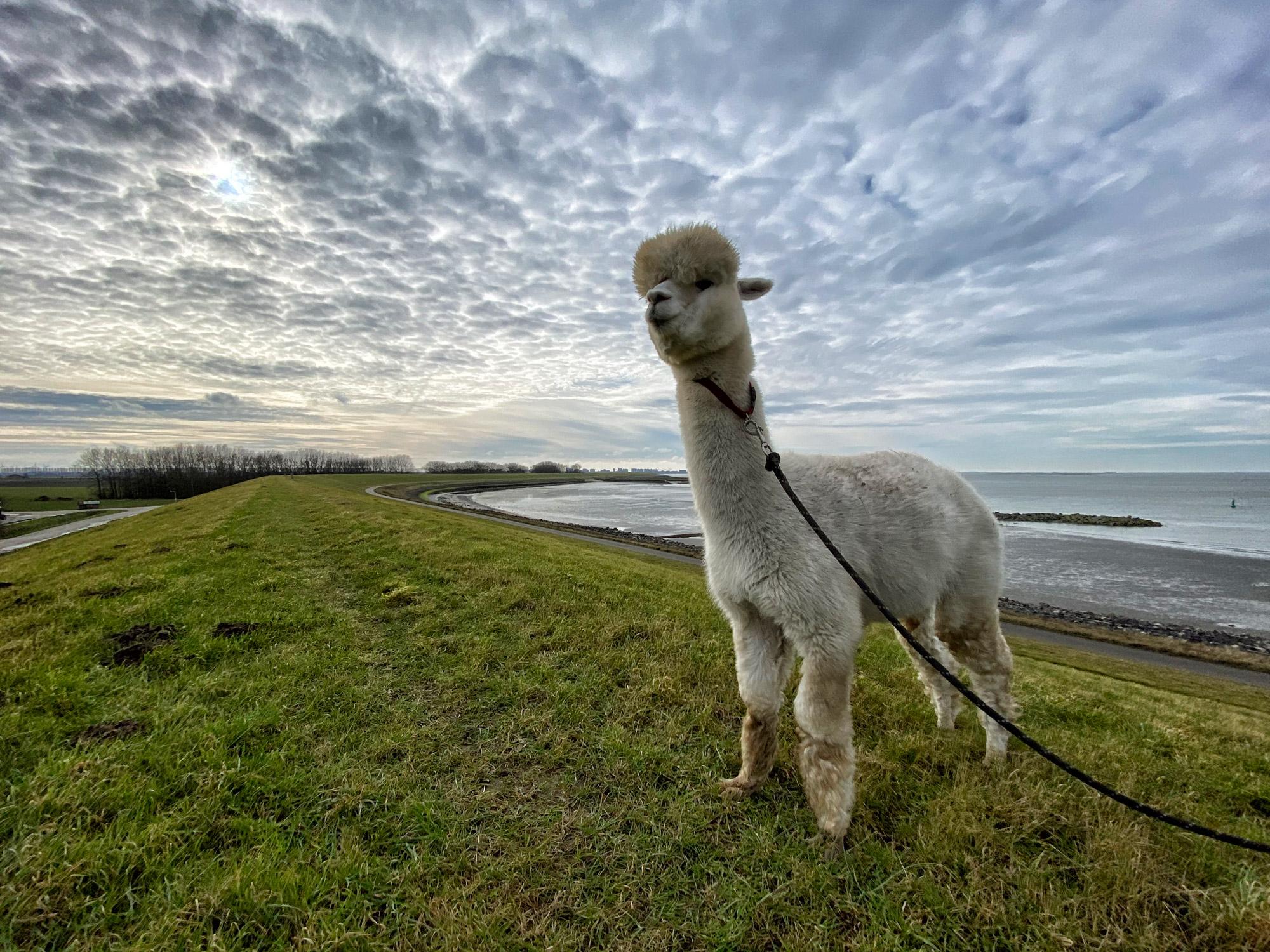 Wandelen met Alpaca's in Zaamslag