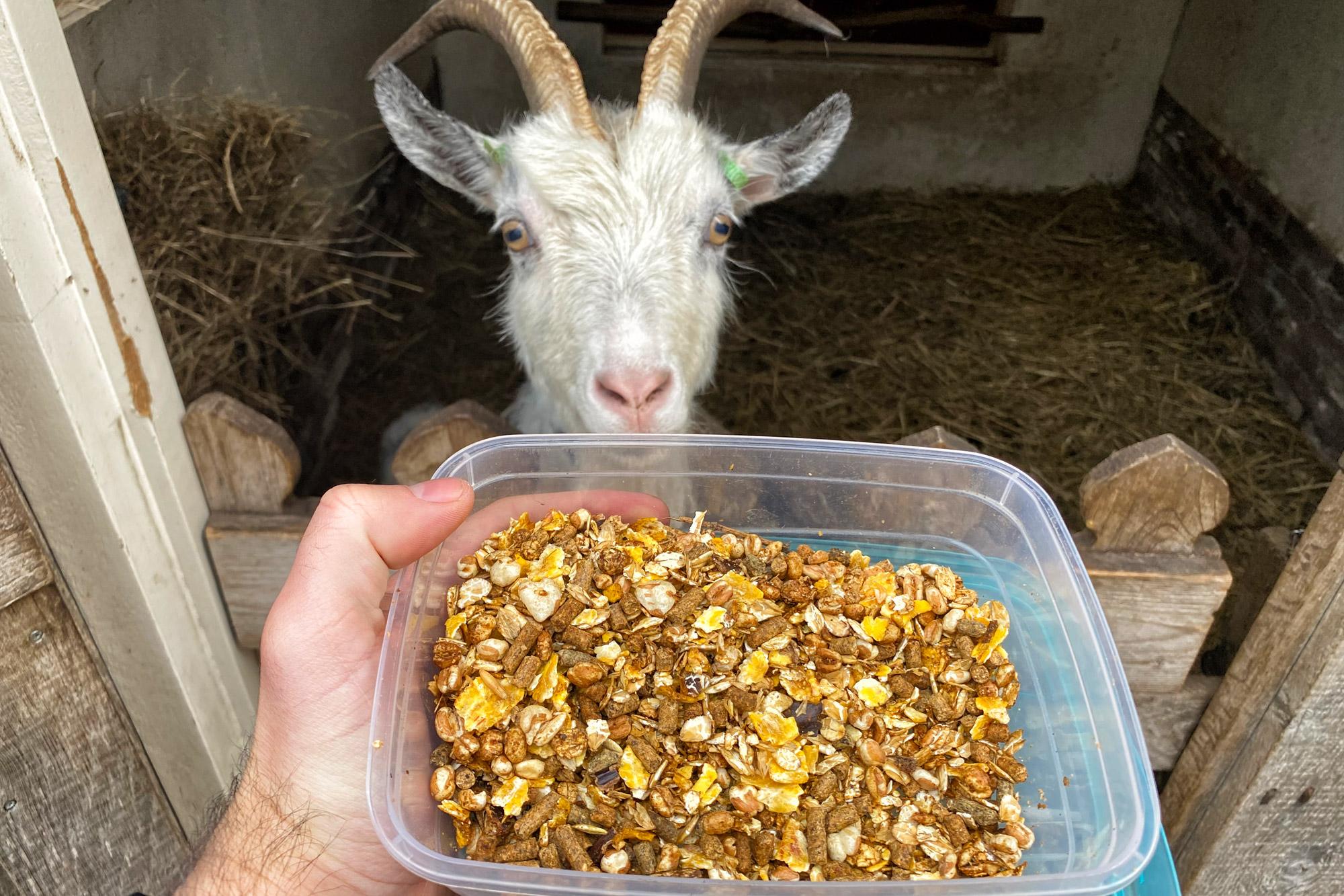Plaggenhut met geitjes